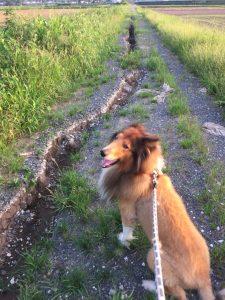 コリー犬 ラッキー 7月20日 田んぼのあぜ道