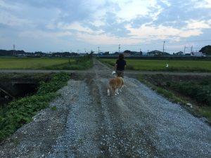 コリー犬 ラッキー 9月22日 田んぼのあぜ道