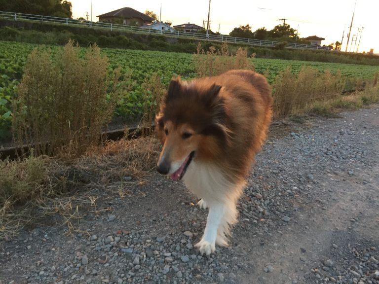コリー犬ラッキー 夕方の散歩